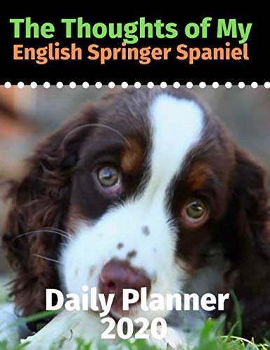 English Springer Spaniel Puppies - 2