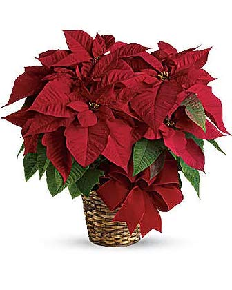 Red Poinsettia (Poinsettia Day)