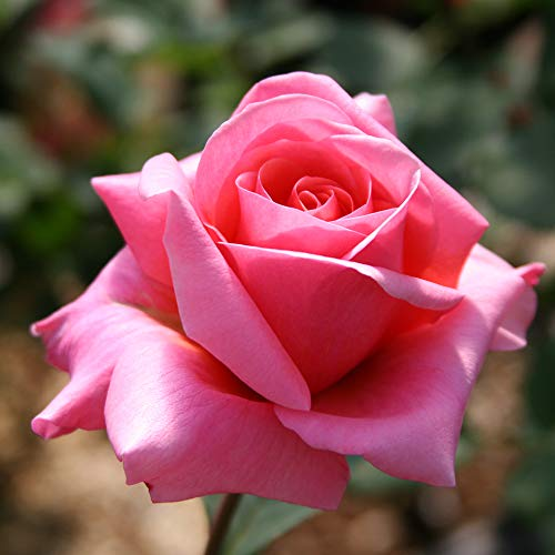 (Own-Root One Gallon Fragrant Hour Hybrid Tea Rose by Heirloom Roses )