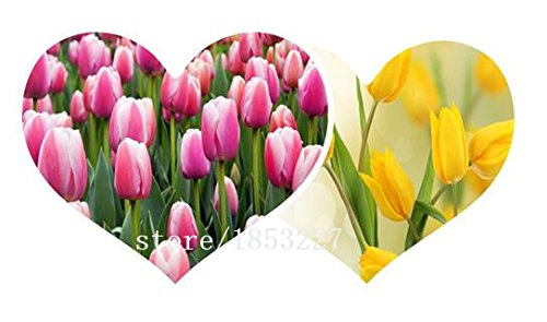Big sale tulip seeds 100pcs mixing colors,potted indoor and outdoor potted plants purify the air flower seeds