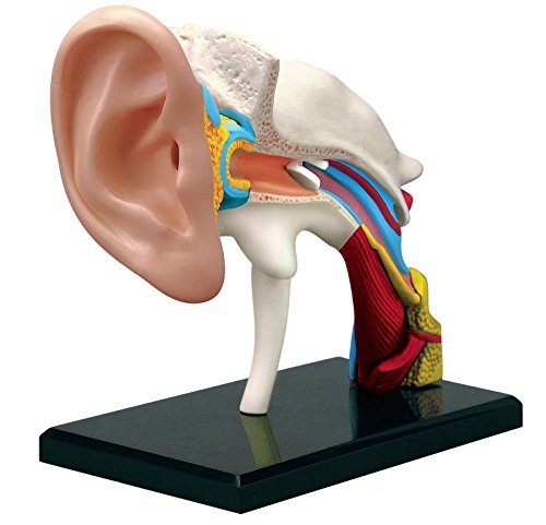 Human Body 3d Model - 4D Human EAR Drum Canal Body Anatomy 3D Puzzle Model science Medical NEW For Ages 8+ 22 Piece Model with Stand and Assembly Guide