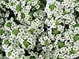Sweet Alyssum How To Grow Plants