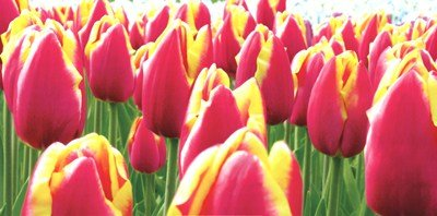 - Tulips by Jan Lens - 39.5x19.5 Inches - Art Print Poster
