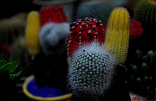 Shopvise 30Seeds/Pack Mixture of Cactus Cheap Balcony
