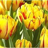 Tulip Monsella Bulbs (8 in Pack)