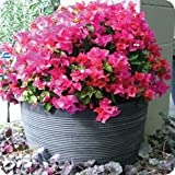 New 1 PCS Bougainvillea ' Temple Fire ' Bougainvillea Glabra Starter Plant