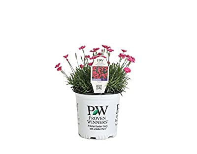 Paint the Town Magenta Pinks (Dianthus) Live Plant, Pink Flowers, 0.65 Gallon