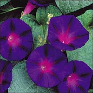 Ipomoea Morning Glory - Outsidepride Morning Glory Grandpa Ott - 250 Seeds