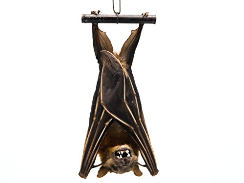 Real Hanging Lesser Short-Nosed Fruit Bat : Cynopterus brachyotis (AR-1235-10) FOW