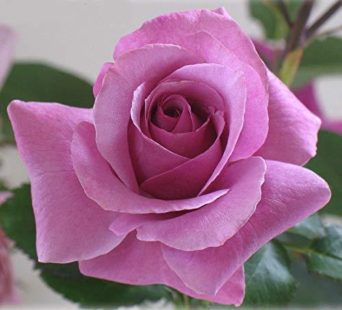 Barbra Streisand Hybrid Tea Rose Bush - Bareroot