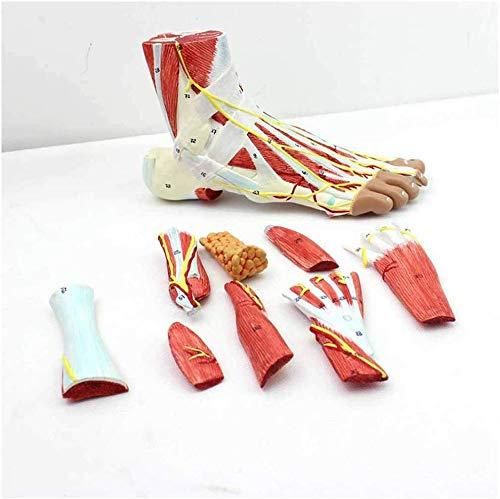 LXX Foot Anatomy Model - Regional Anatomy of The Foot with Neurovascular Ligaments Anatomical Ankle Joint Muscle Vascular Ligament Model - for Medical Educational Training
