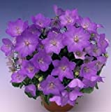 Campanula carpatica Uniform Blue 1,000 seeds