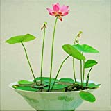 HOO PRODUCTS - Perennial Flowers Seeds Many colors lotus seeds Teach you plant the Lotus, 12 pieces Water Lily Seeds Cheap!