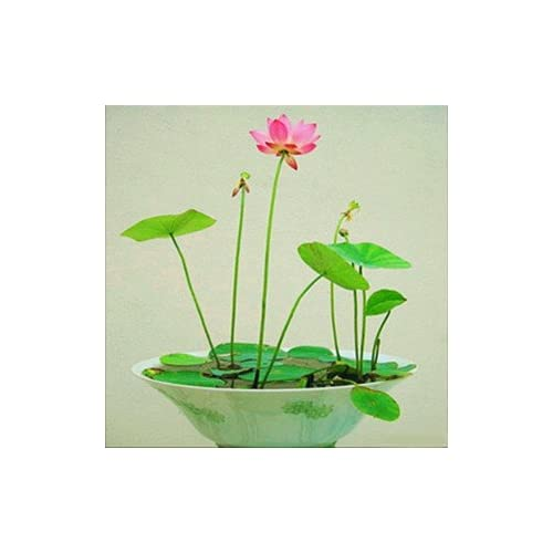 Lotus plant buy lotus plant online at best prices in india amazon creative farmer dwarf lotus flower seeds pack of 15 seeds mightylinksfo