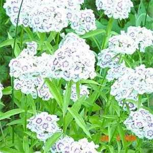 Outsidepride Dianthus - Albus