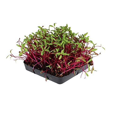 Soil Based Microgreens Seeds Assortment: Micro Greens Seed Collection: Sunflower, Buckwheat, Cilantro, Dun Pea, Rainbow Swiss Chard, Detroit Beets by Handy Pantry (Image #1)