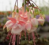 "FUCHSIA - SOUTHGATE - 2 PLANTS - 3"" pot - SEE SHIP DATE"
