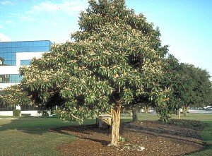 Loquat Tree - 2 Year Old