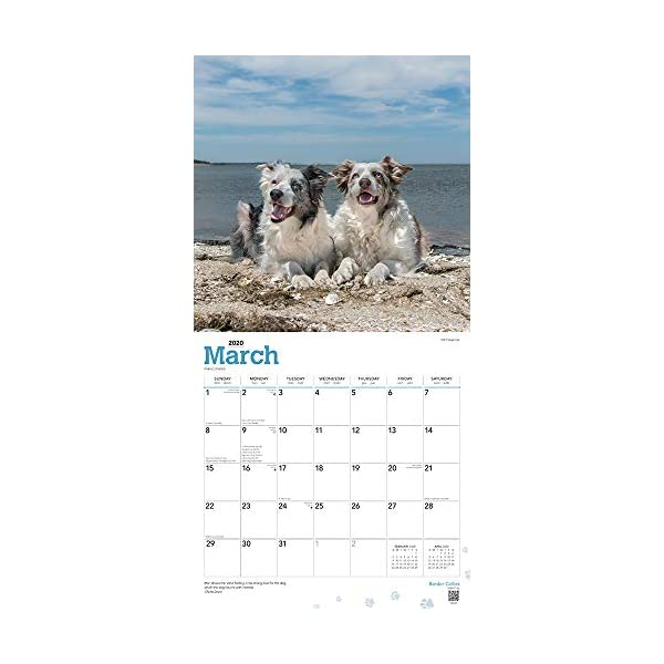Border Collies 2020 12 x 12 Inch Monthly Square Wall Calendar with Foil Stamped Cover, Animals Dog Breeds Collies (English, Spanish and French Edition) 2