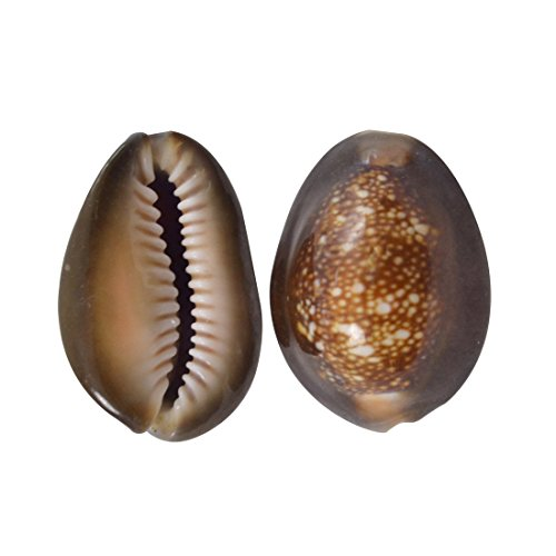 Snakehead Cowrie Craft Seashells 1-1.5