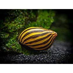 Aquatic Arts 1 Live Zebra Nerite Snail | Freshwater Aquarium Algae Eater/Real Living Nano Fish Tank Pet | Glass Cleaning Snail | Natural Decor