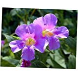 HOLE 250 Seeds Purple Monkey Flower Mimulus Ringens - RK307