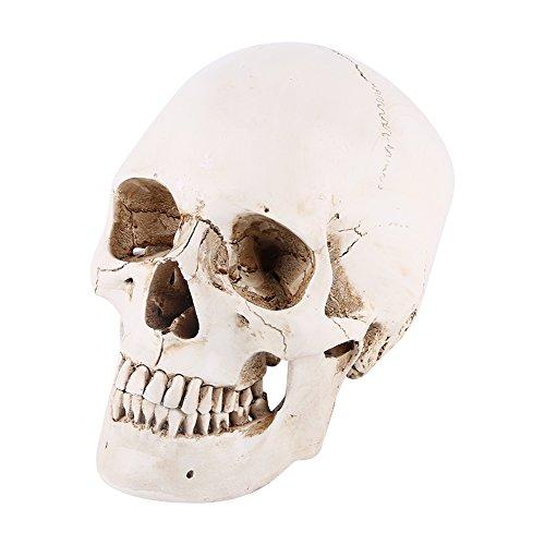 Walfront 1:1 Life Size Model Resin Human Anatomy Head Skull Replica Teaching Tool Halloween Decor White -