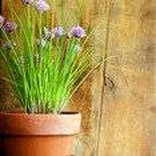 100 Seeds Chives, Wild Chives (Allium schoenoprasum) Herb Plant - Chives 100 Seeds