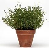 Thymus Summer praecox Type Hardy, 100 Seeds