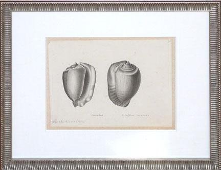 Strombus (shells) (Shell Strombus)