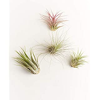 Shop Succulents | Assorted Collection of Live Air Plants, Hand Selected Variety Pack of Air Succulents | Collection of 4