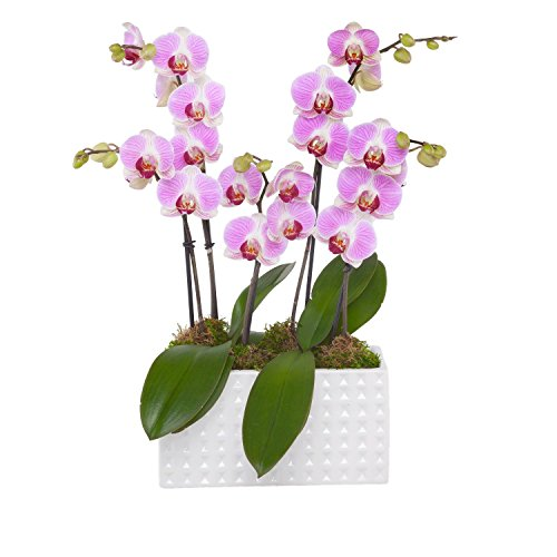 Orchid Trio - Petite Light Pink Blooms (Orchid Trio)