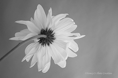 Daisy Fine Art Still Life Floral Photography Black & White Unframed Print Minimalist Home or Office Wall Decor Taupe Yellow Blue-Green Grey Flower Photo 5x7 8x10 8x12 11x14 12x18 16x20 16x24 20x30