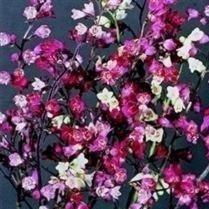 Hybrid Heuchera (Heuchera - Bressingham Hybrids - 1000 Seeds)