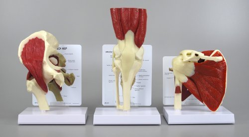 - Muscled Bone Joint Model Basic Starter Set of 3 Educational CEM Knee Hip Shoulder by GPI