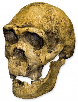 Homo ergaster KNM ER 3733 Skull (Teaching Quality Recreation) by Skulls Unlimited International (Image #2)