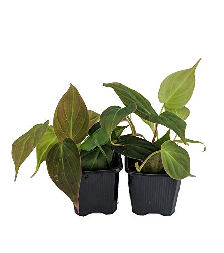 (Rare Velvet Leaf Bronze Micans Vine - Philodendron - Easy to grow - 4
