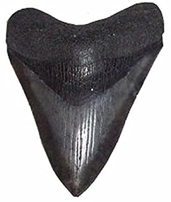 Fossilized Carcharocles Megalodon Shark Tooth 1.5 - 2.0 Inches Length