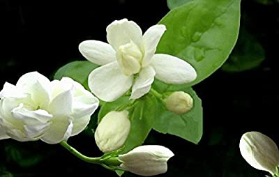 Higarden flower seeds Jasmine Arabian jasmine fragrant plant seeds DIY home, 50 unids 5 colors