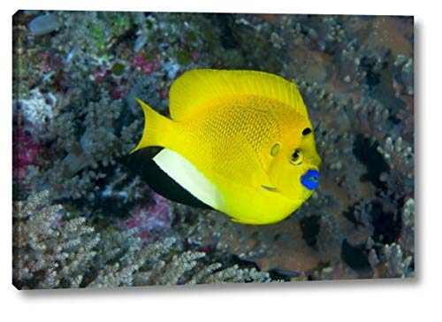 Indonesia Three spot Angelfish Swims amid Coral by Jones Shimlock - 8