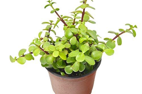 'Elephant Bush' Succulent/4'' Pot/Live Home and Garden Plant/Free Care Guide by House Plant Shop