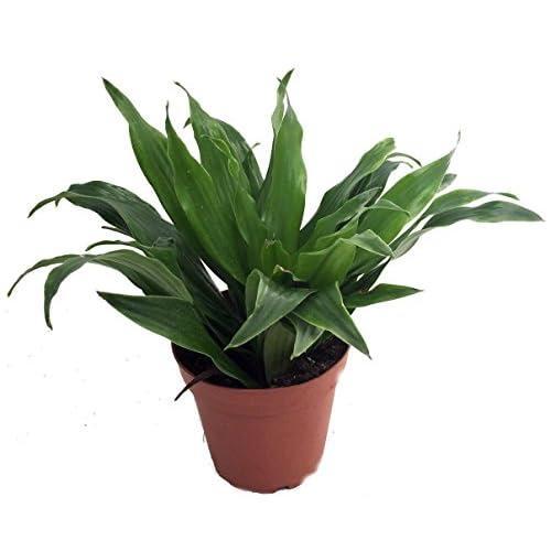 "Nice Janet Craig Dragon Tree- Dracaena fragrans - 3.5"" Pot - Easy to Grow House Plant hot sale"
