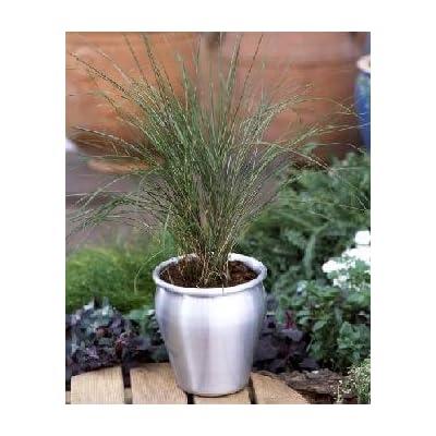 Stipa arundinacea Pheasant Tails 500 seeds: Home & Kitchen