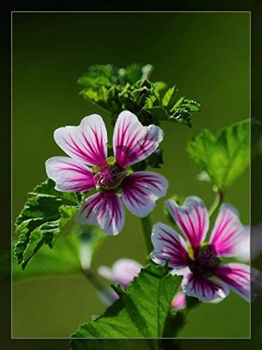 Vavrica 100 St/ück Rarit/äten Maharadscha samen Malve Blau//Rosa//Mischung Bechermalven Blumensamen Mischung winterhart mehrj/ährig Beet und Schnittblume