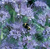 Honeyman Farms Phacelia Purple Tansy Seeds 1 lb Bag
