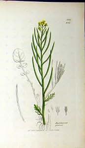 Pianta Botanica 1803 di Praecox del Barbarea della Stampa di Sowerby