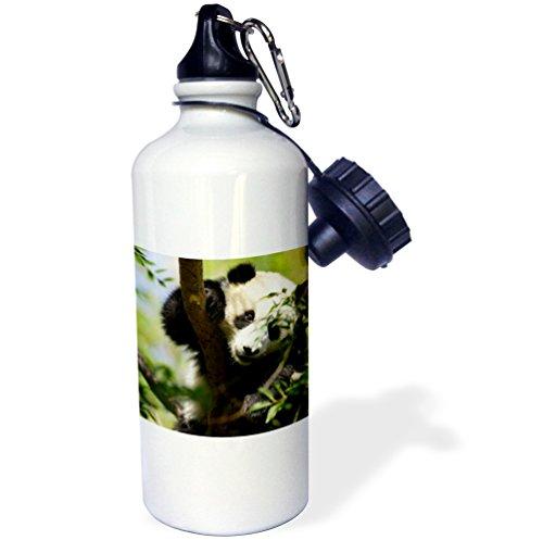 3dRose wb_88551_1 Giant Panda Bear, Research Station, San Diego Zoo Ca-Us05 Mpr0038-Maresa Pryor Sports Water Bottle, 21 oz, White ()