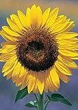David's Garden Seeds Sunflower Mammoth Grey Stripe DHGSGA (Yellow) 50 Open Pollinated Seeds