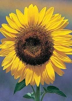 sunflower seed plants - 3