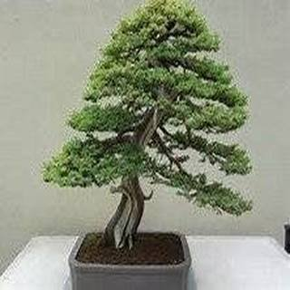 Yew Bonsai (15 Seeds Mair Yew Taxus Wallichiana Mairei Bonsai Tree)